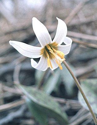 Erythronium image