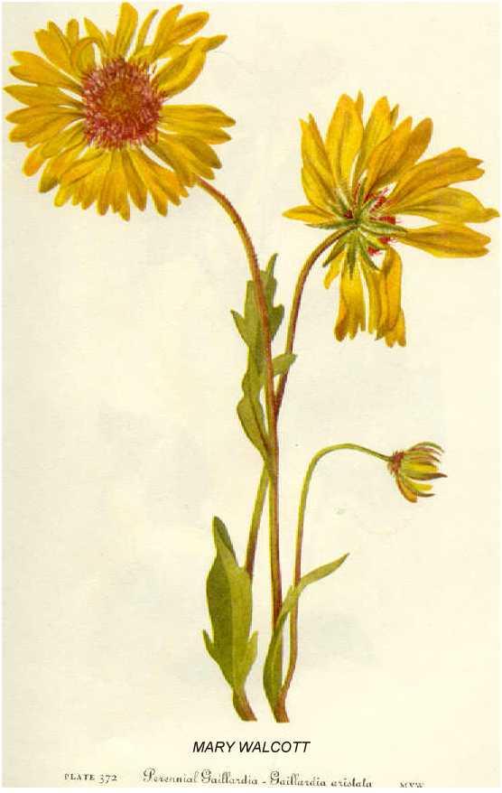 gaillardia aristata online virtual flora of wisconsin gaillardia aristata