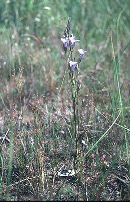 Gentianopsis virgata image
