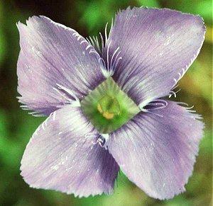 Gentianaceae image