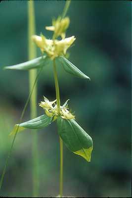 Halenia image