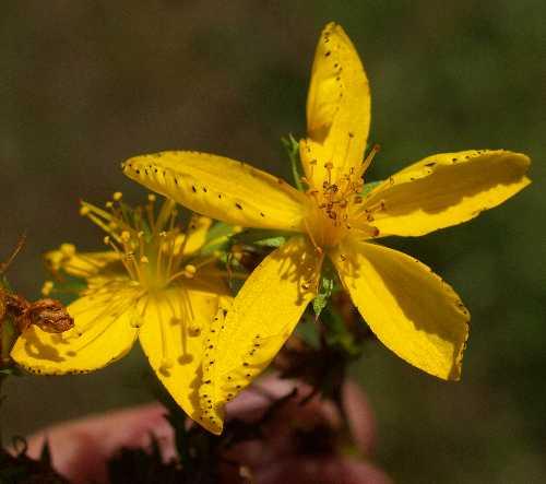 Hypericaceae image
