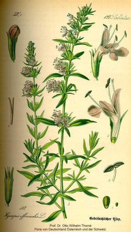 Hyssopus image