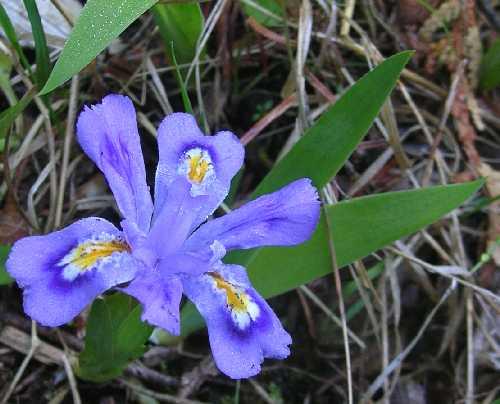 Iris lacustris image