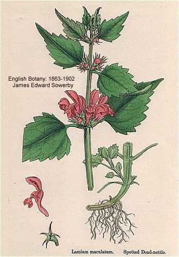 Lamium maculatum image