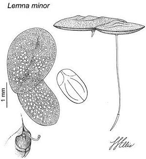 Lemna minor image