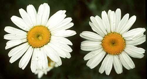 Leucanthemum image
