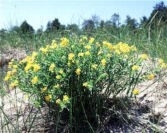 Lithospermum caroliniense subsp. croceum image