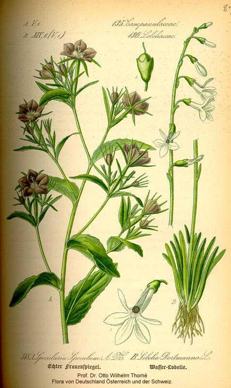 Lobelia dortmanna image