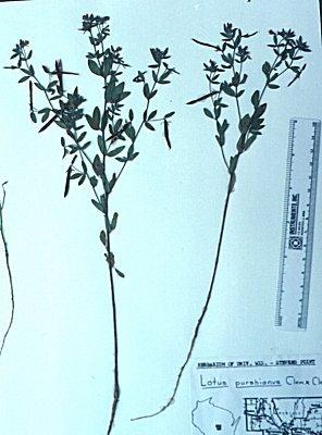 Lotus unifoliolatus image