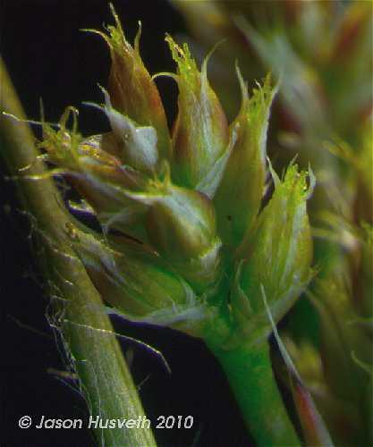 Juncaceae image
