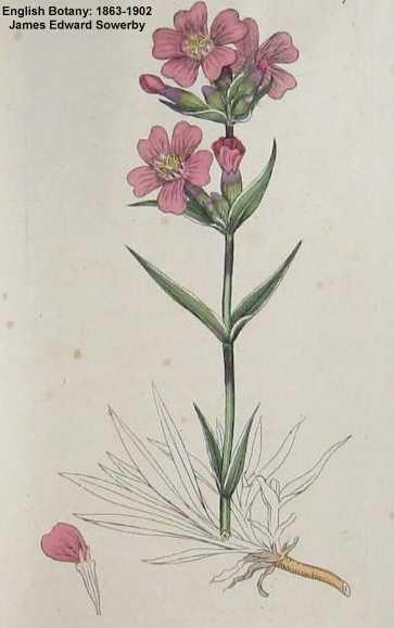 Silene viscaria image