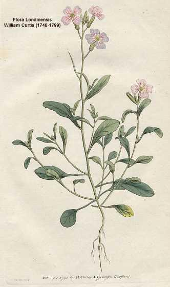 Malcolmia image