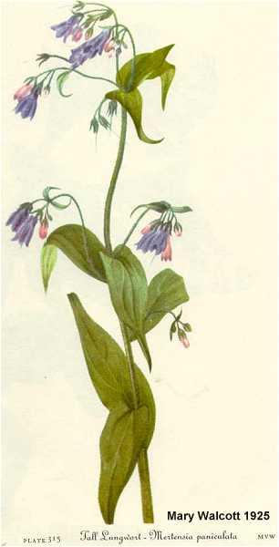 Mertensia paniculata var. paniculata image