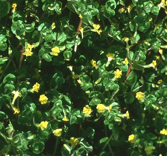 Mimulus glabratus var. jamesii image