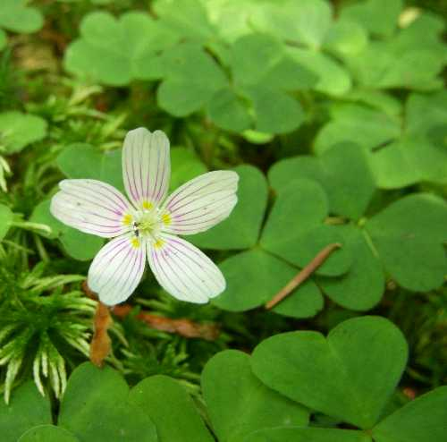 Oxalis acetosella subsp. montana image
