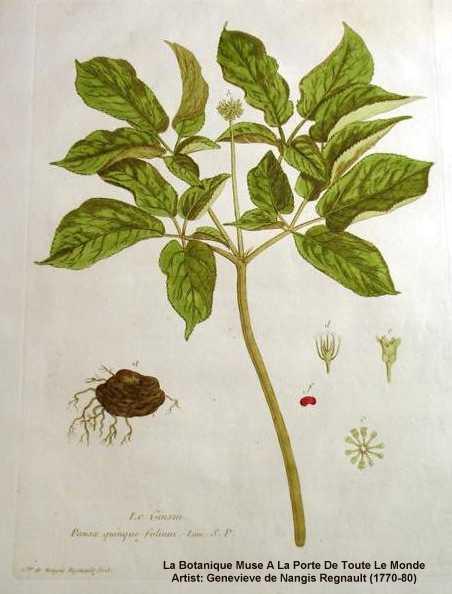 Panax quinquefolius image