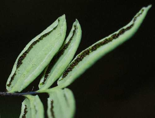 Pellaea glabella subsp. glabella image
