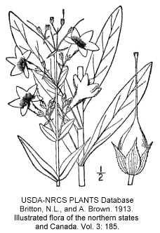 Penstemon tubaeflorus image