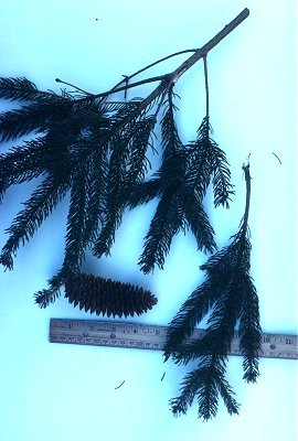 Picea abies image