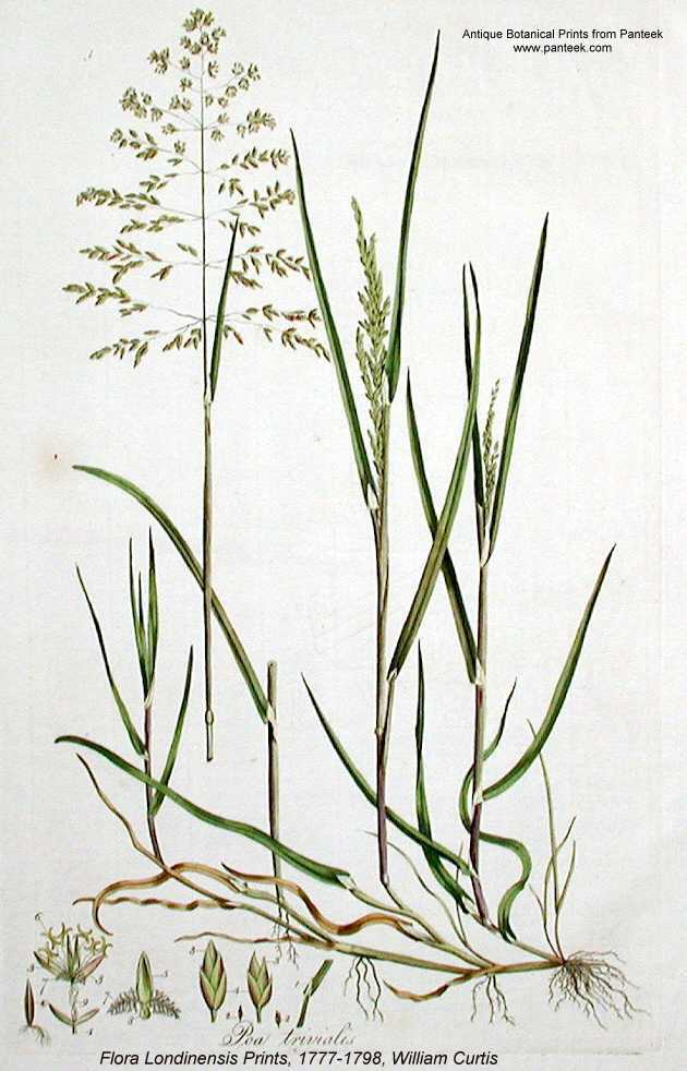 Online Virtual Flora Of Wisconsin Poa Trivialis