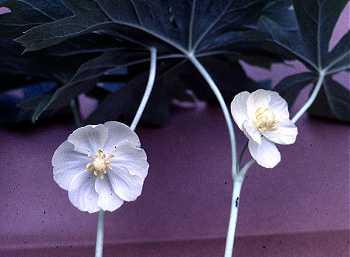 Podophyllum image