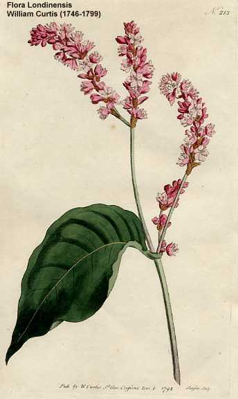 Persicaria orientalis image
