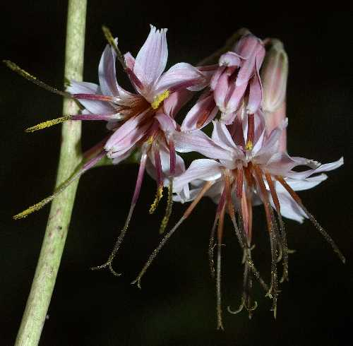 Prenanthes image