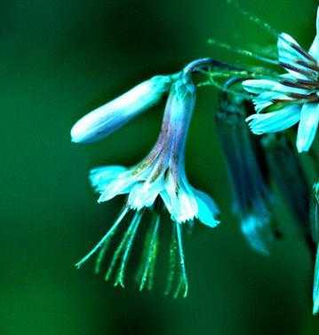 Prenanthes alba image