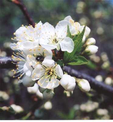 Prunus image