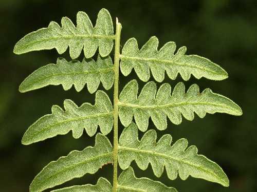 Dennstaedtiaceae image