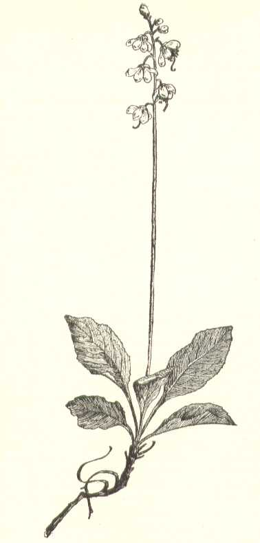 Pyrola elliptica image
