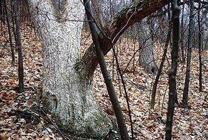 Quercus muhlenbergii image