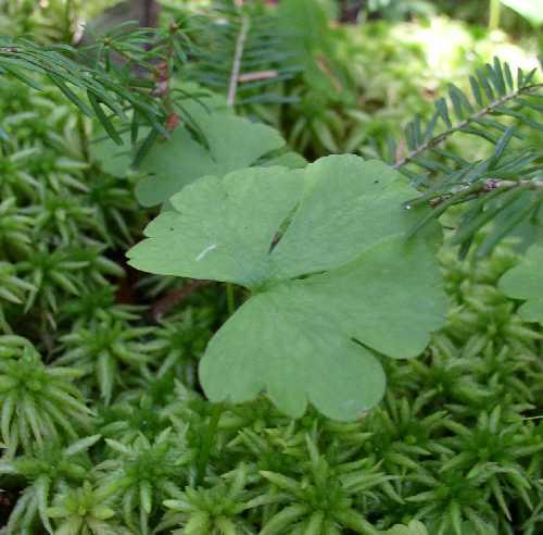 Ranunculus lapponicus image