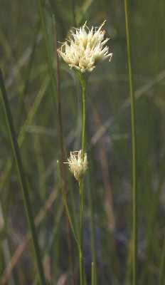 Rhynchospora image