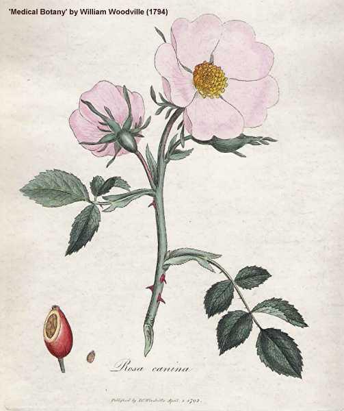 Rosa canina image