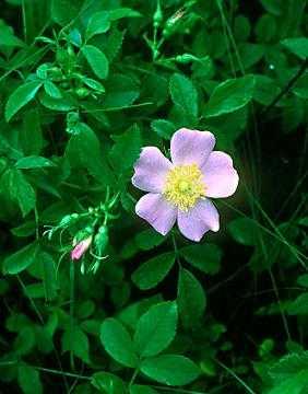 Rosa carolina image