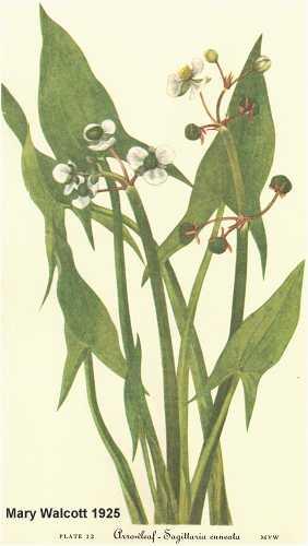 Alismataceae image