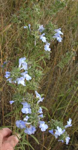 Salvia azurea var. grandiflora image