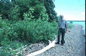 Salix pellita image