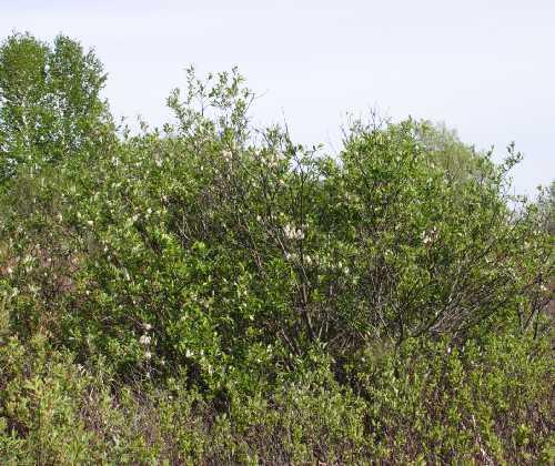 Salix planifolia image