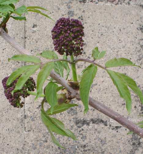 Sambucus racemosa subsp. pubens var. pubens image