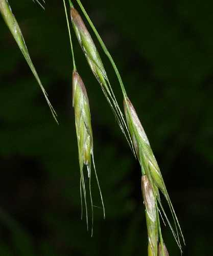 Schizachne image