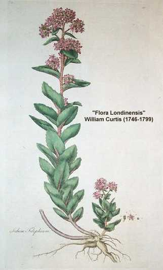 Hylotelephium telephium image