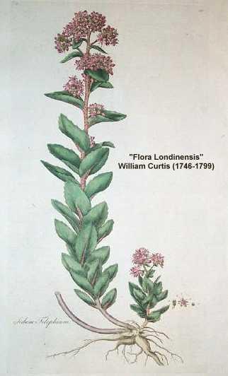 Hylotelephium image
