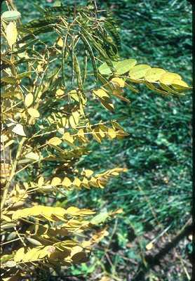 Senna marilandica image