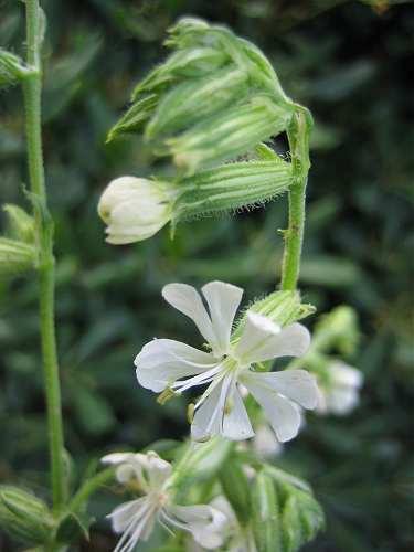 Caryophyllaceae image