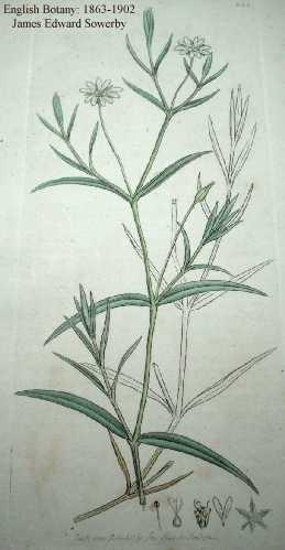 Stellaria palustris image