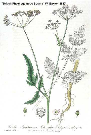 Torilis image