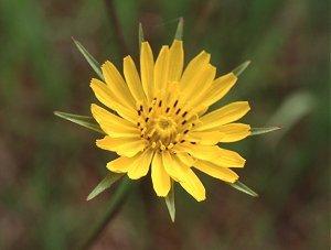 Tragopogon image